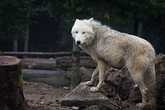 Polar wolf (Cloudtail the Snow Leopard) Tags: wolf zoo amneville tier animal mammal sugetier canis lupus