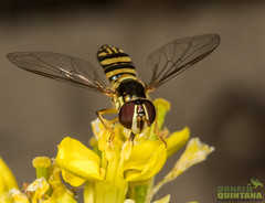 Hoverfly, Allograpta obliqua, Los Osos, California (Donald Quintana Nature Photography) Tags: lososos california hoverfly paragushaemorrhous macro nature closeup wildlife yellow invertebrate