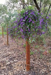 on #fencepostfriday (ClareSnow) Tags: fencepostfriday hardenbergiacomptoniana hardenbergia purple flower fence richardguelfireserve perth australia winter