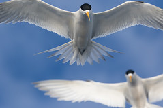 Terns crowding in (christinaportphotography) Tags: crestedtern thalasseusbergii tern pelagic swansea nsw australia bird birds wild free flying floating focus bokeh