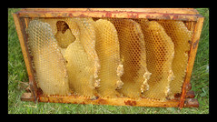 Wild Comb. Frame Full. (Margaret Edge the bee girl) Tags: brood comb wax beeswax wildcomb frames hive garden golden nature apiculture apiary architecture