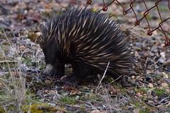 Echidna (Luke6876) Tags: echidna mammal monotreme animal wildlife australianwildlife