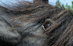 blackhorse eye (seil6fosse9) Tags: cavallo horse nero black occhio eye criniera hair nature animals