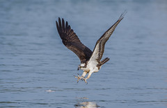 Osprey going fishing (nikunj.m.patel) Tags: osprey raptor fishing wildlife nature birdinflight birdofprey migration photography nikon bird