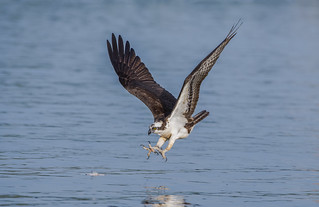 Osprey going fishing