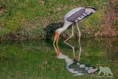 Yellow-billed Stork (fascinationwildlife) Tags: animal bird yellow billed stork storch nimmersatt reflections wild wildlife nature natur national park ranthambhore india morning summer pond colors