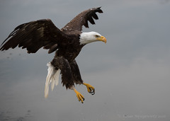 swing high swing low (Susan Newgewirtz) Tags: nikon nikond750 eagle americanbaldeagle outdoor wildlife wildlifephotography water
