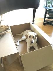 Calvin in a box (hero dogs) Tags: dog labrador cute therapydog servicedog