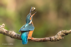 Kingfisher (Alcedo atthis) D50_3583.jpg (Mobile Lynn) Tags: people birds wild petewhieldon watermarked kingfisher nature aves bird chordata coraciiformes face faces fauna wildlife otterbourne england unitedkingdom gb coth specanimal greatphotographers ngc npc coth5 sunrays5