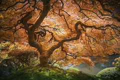 Under the Bonsai Umbrella (allan pudlitzke) Tags: tree award winning leaves orange maple japanese garden travel explore landscapes trees