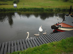Swan Family 1 (StaircaseInTheDark) Tags: england britain uk unitedkingdom greatbritain northernengland pendle lancashire eastlancashire outdoors country countryside animal animals birds wildlife swan cygnets canal leedsliverpoolcanl