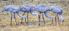 Our Back Yard (Wes Iversen) Tags: grandblanc htt michigan sandhillcranes tamron150600mm texturaltuesday birds nature straw water wildlife sunrays5