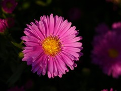 Sunny Autumn (Christa_P) Tags: nature flowers blumen blossom blte autumn fall herbst sun sonne flora asters