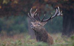 Red deer, (Cervus elaphus) (Gowild@freeuk.com) Tags: reddeer stag rut autumn stags antlers clash battle mist morning light richmondpark nature mammal animal wild wildlife uk british andrewmarshall photography nikon