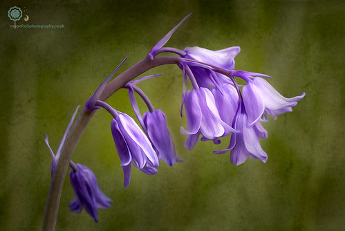 Bluebell in Oils