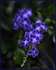 Geisha Girl (PhotosbyDi) Tags: blue flower geishagirl nikond600 tamronf2890mmmacrolens caprigarden