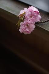 PhoTones Works #6610 (TAKUMA KIMURA) Tags: flowers plant japan landscape spring scenery natural snap      kimura   takuma    a7s photones