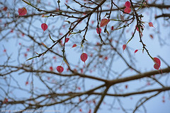 ANOTHER FESTIVAL SEASON IN INDIA (GOPAN G. NAIR [ GOPS Creativ ]) Tags: india tree leaves festival photography leaf harvest tender vishu gops peepal gopan gopsorg gopangnair gopsphotography