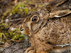 The Hare (Tom O'Donovan) Tags: nature grass forest fur nose spring eyes hare bokeh ears center whiskers parcs whinfell