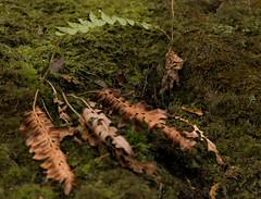 Spring fern in a forest. (ronnymariano) Tags: newyork fern nature leaves forest moss unitedstates hiking lichen 2015 southfields harrimanstatepark harrimanpark khiking