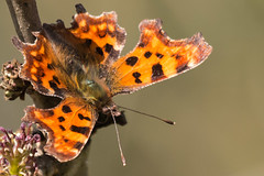 Comma-6680 (WendyCoops224) Tags: canon eos butterflies explore comma signsofspring 70d explored 100400mml localwoodland ©wendycooper