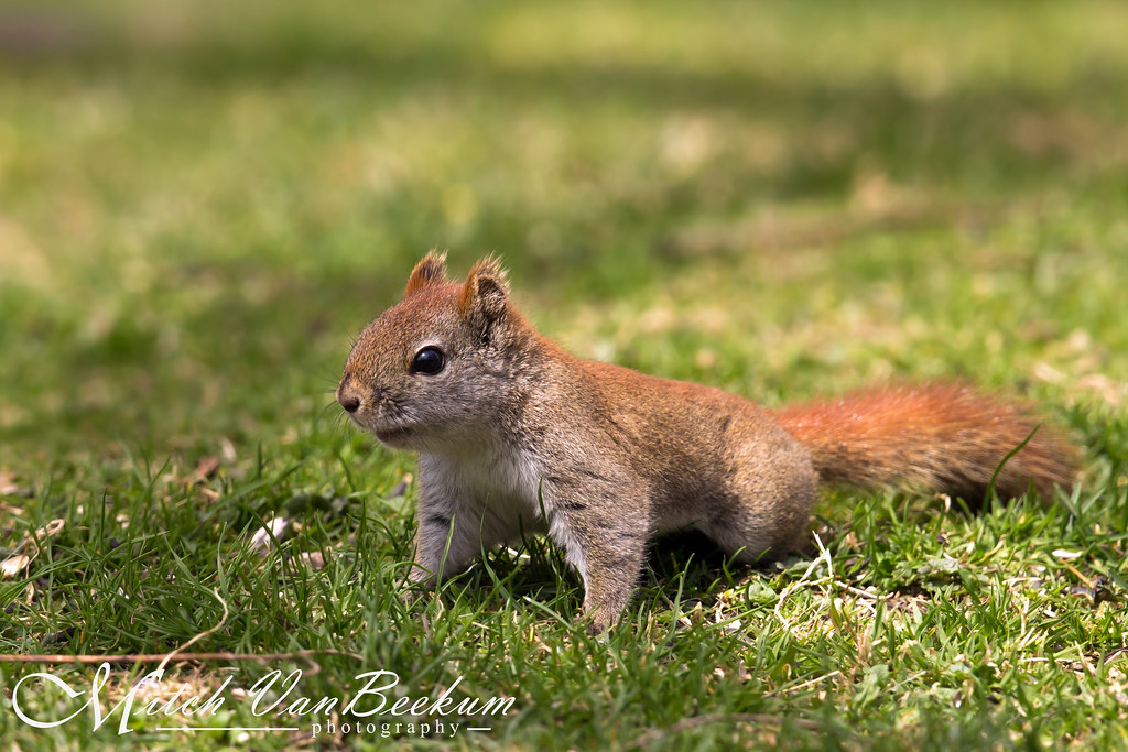 Juvenile American Red Squirrel