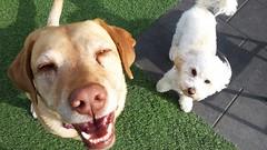 too much dognip. (basegrinder) Tags: dog labrador poodle littledoglaughedstories