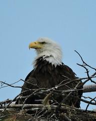 Eagle at nest. (GWP Photography) Tags: bird animal nikon nest eagle outdoor pennsylvania adler baldeagle pa coolpix eaglesnest aquila orel guia aigle waynecounty guila  orze milanville rn nestingpair     upperdelawareriver  waynecountypa coolpixp600