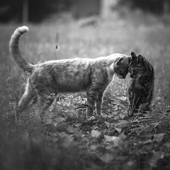 bump (Jen MacNeill) Tags: blackandwhite bw cats love nature yard cat canon garden square outdoors affection brothers 85mm squareformat bnw 6d bumping headbump jennifermacneill