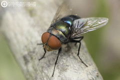 Blue-bottle Blow Fly (Calliphoridae) (PF T.J.) Tags: blue red wild macro green eye nature photography fly photo bottle body metallic wildlife blow malaysia flies dimension pixels learn diptera calliphoridae macrography tanji tanjime