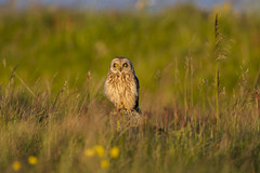 Brandugla / Short-eared Owl (Benedikt Halfdanarson) Tags: birds owl shortearedowl asioflammeus fuglar ugla icelandicbirds brandugla íslenskirfuglar