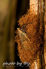 Scamandra polychroma (peter soltys) Tags: macro nature photography wildlife adventure borneo biodiversity macrophotography gunungmulunationalpark herping lanternbug petersoltys scamandrapolychroma photobyy