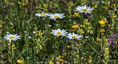 De petites fleurs qui associes font la prairie (mrieffly) Tags: chaumesvosgiennes fleurs canoneos50d 100400issriel
