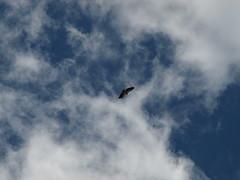 (Fraser P) Tags: france wildlife lot dordogne chapels raptor vulture pilgrimage sanctuary birdofprey rocamadour egyptianvulture rocherdesaigles