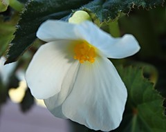 Blessings (Kooklamou - MA., USA) Tags: pottedplant begonia frontporch