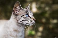 Deep blue gaze (Laph95) Tags: cat chat animal flin close proche oeil yeux regard eyes blue bleu bokeh outside dehors extrieur nature attentif glance gaze pet