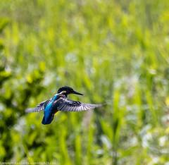 9Q6A2918 (2) (Alinbidford) Tags: heron kingfisher muteswan moorhen greyheron brandonmarsh alancurtis pairofkingfishers alinbidford