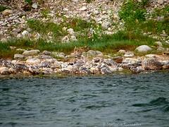 Chi riesce a trovare lintruso? (Rosshox) Tags: naturalphotography natura wildlife action animals animali fujifilm fujifilmxs1 volatili