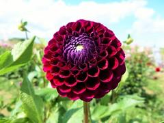 Fleur (mathieuhivin) Tags: fleur flower nature bio macro ptale ete