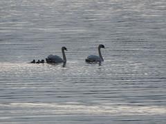 Swan parents and five cygnets (seikinsou) Tags: ireland summer lake rain evening swan midsummer cygnet drizzle mullingar westmeath loughennel
