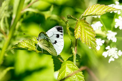 White butterfly (mashgau) Tags: macro nature butterfly proxy 100400
