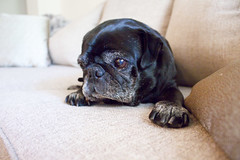 Sweet little Pug (Erin Opie) Tags: dog baby pets cute animals puppy little pug couch sleepy comfy puglife