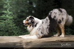 Bieska , Australian Shepherd (anouchkagauthier) Tags: dog sun summer cool tricks hello reverence australianshepherd bluemerle colors green cute canon