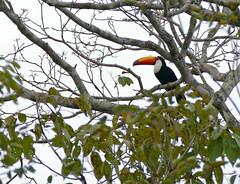 Toco Toucan (Ramphastos toco) (berniedup) Tags: pantanal transpantaneira pocon tocotoucan ramphastostoco toucan taxonomy:binomial=ramphastostoco