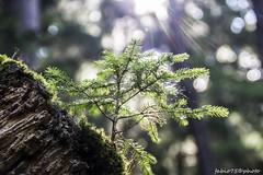 La Natura che Vince (Fabio75Photo) Tags: abete nato nuovo new green bosco natura luce bellezza muschio
