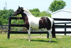 Domino Conformation June 2016 (Grace B. H.) Tags: domino horse pony pinto pintohorse blacktobiano blackandwhite painthorse conformation headshot portrait horseportrait equine equestrian seniorhorse summer maryland nikon nikond80