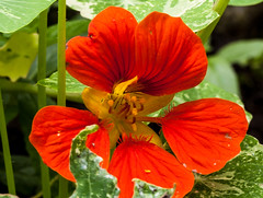 Regrowth (Steve-h) Tags: nature natur natural naturaleza natura bright serene blossoms colour colours nasturtiums red orange gold yellow green velbon tripod ef eos canon camera macro lens digital expoure summer july 2016 dublin ireland europe europa irlanda flower flowers steveh