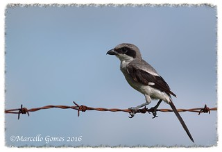 Loggerhead Shrike (Lanius ludovicianus) LOSH - This Shrike Strikes me like a Childlike...
