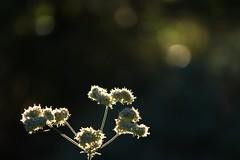 (sunil.koovakkat) Tags: flowers bokeh light whiteflowers nature