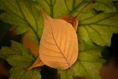 otoo (antonio f. martinez) Tags: autumn naturaleza color verde green nature leaves yellow hojas amarillo otoo